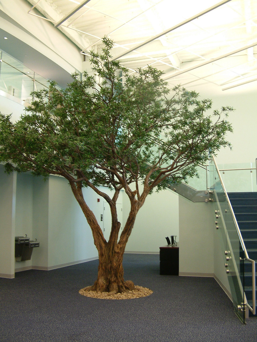 Indoor olive tree images galleries for Growing olive tree indoors